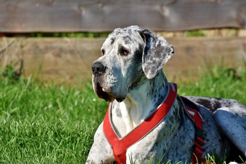 Great Dane with red dog leash