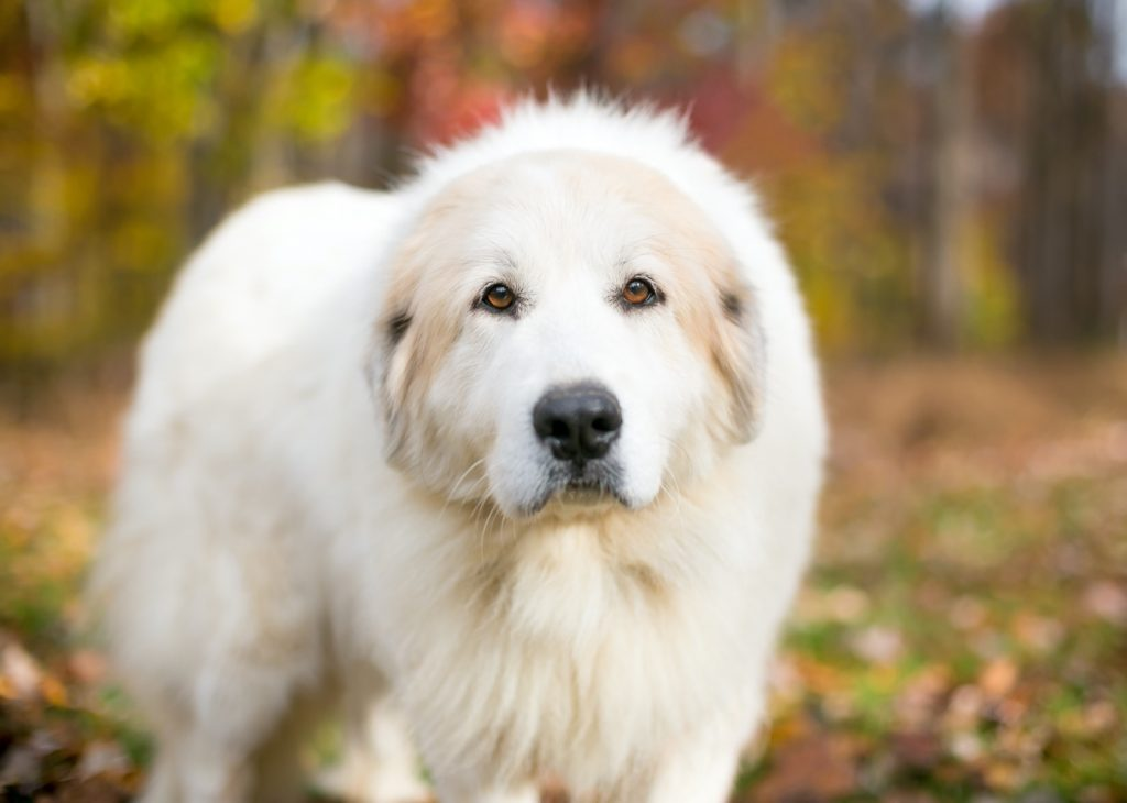 Great Pyrenees outdoors during autumn