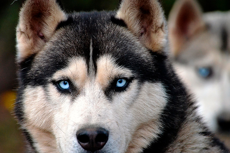 Image result for Siberian Huskies