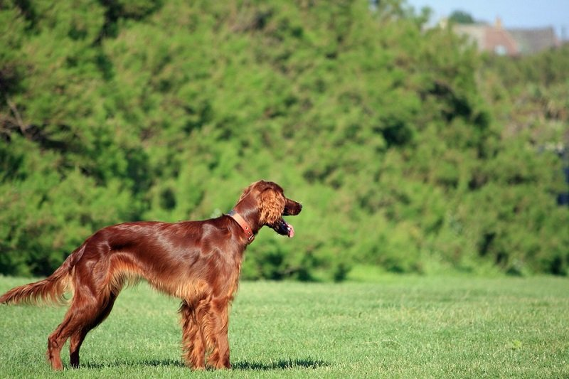 irish setter red setter stands on grass