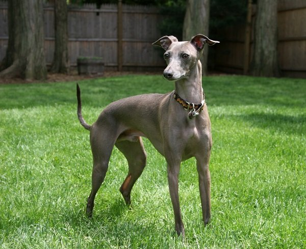 Italian Greyhound dog breeds that dont shed much