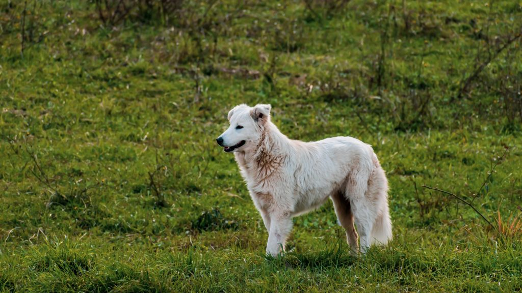 Italian Maremma Sheepdog standing on field in the Lazio region
