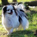 Japanese chin shedding