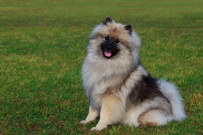 Dog breed keeshond sitting on green grass