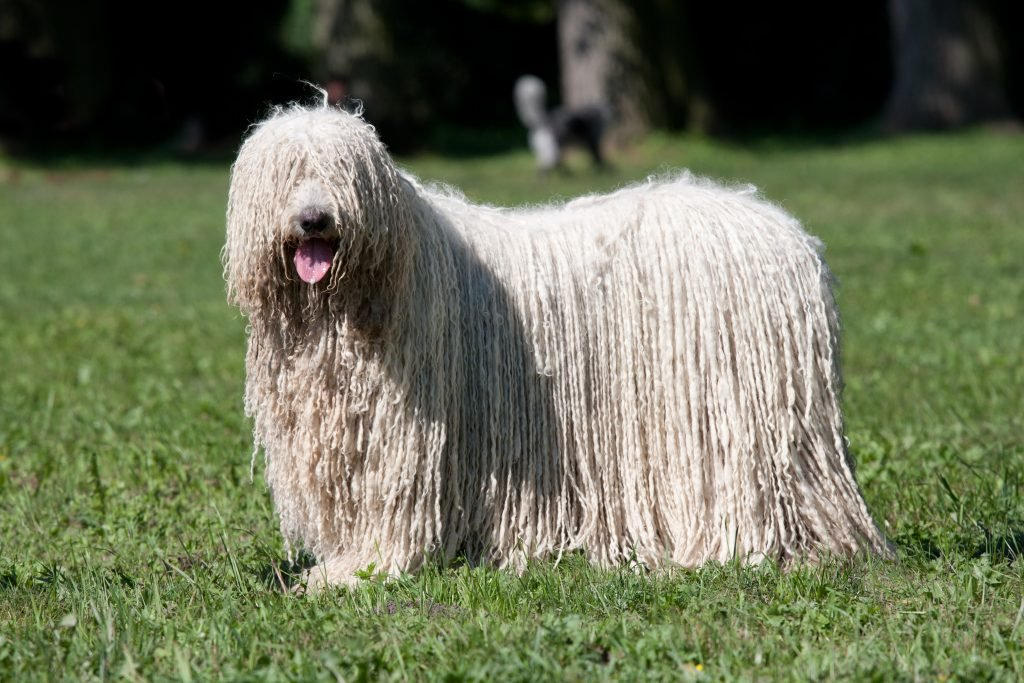 Komondor aka Hungarian Sheepdog posing at the park