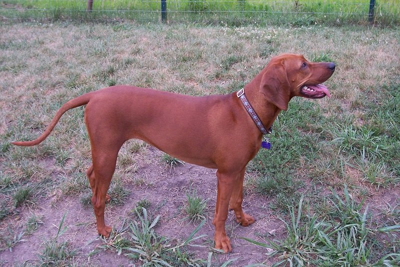 redbone coonhound dog