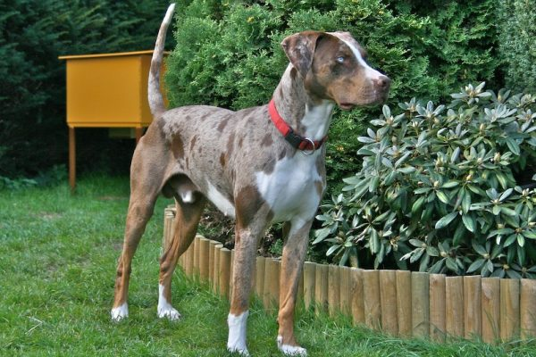 Louisiana_Catahoula_Leopard_Dog catahoula leopard dog