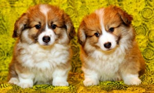 Male or Female Dog - Things To Consider When Choosing a Girl or Boy Puppy