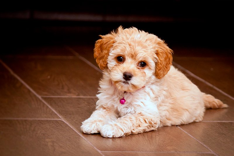 Maltipoo Dogs - The Adorable Mix of Maltese and Poodle Cuteness