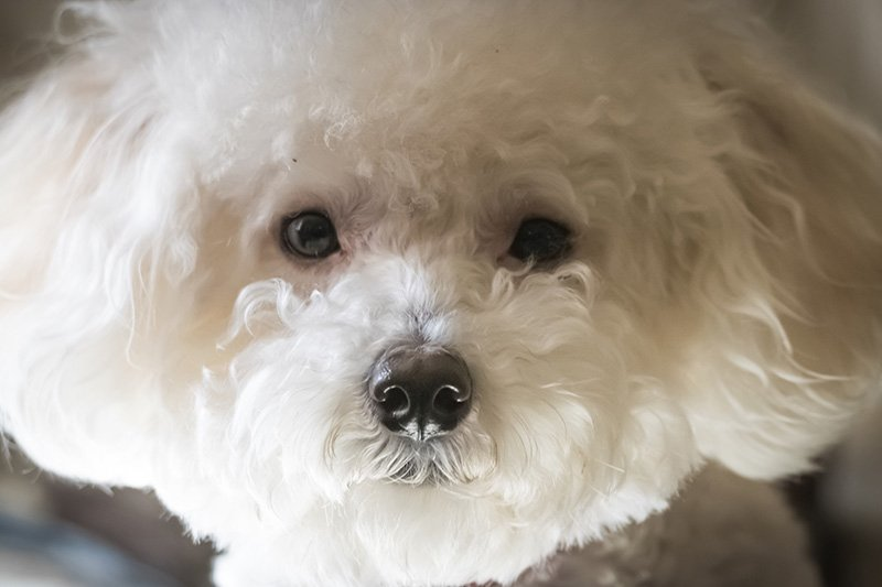 Closeup of white adult Maltipoo
