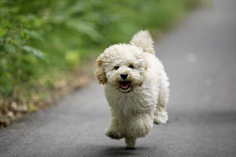 Maltese and Poodle mix puppy running and jumping happily