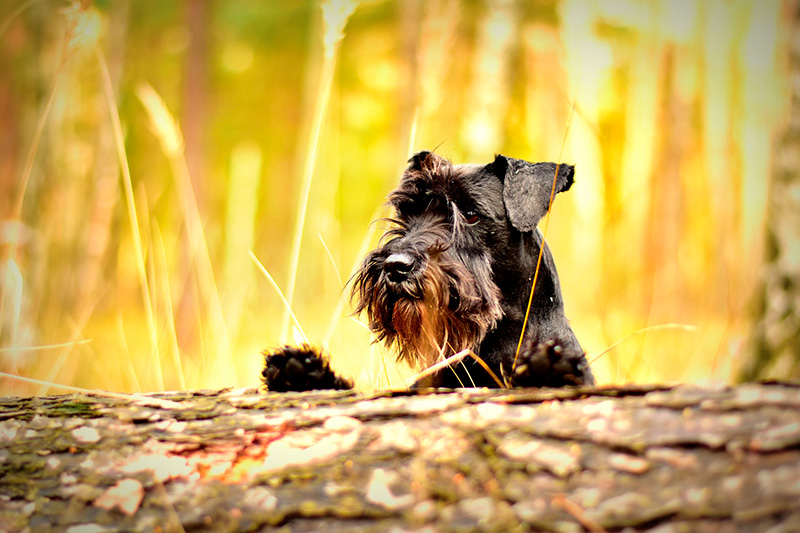 Miniature Schnauzer - All About This Small But Sturdy Dog