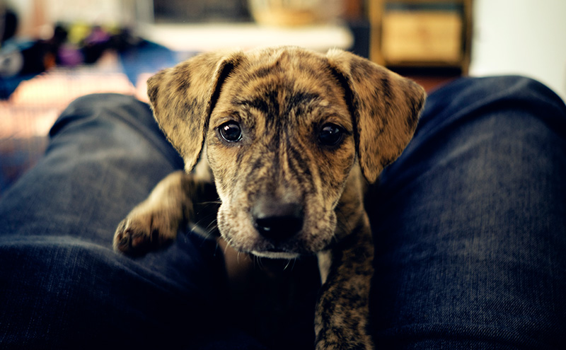 The Mountain Cur - Brave, Tough and Hard Working