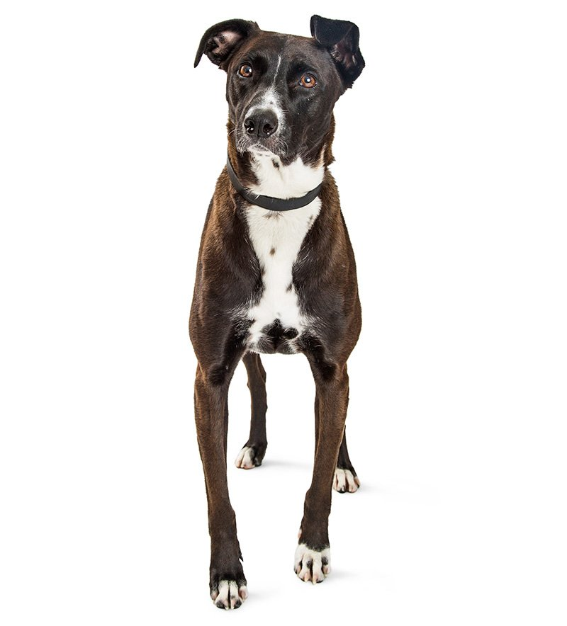 Mountain Cur isolated on white background