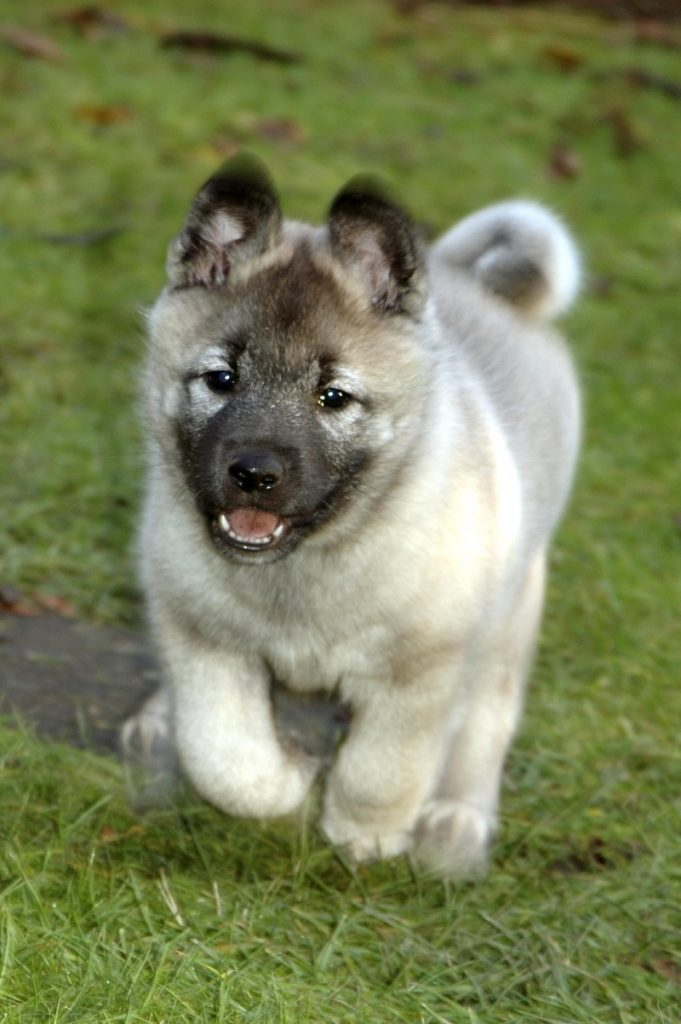 Running Norwegian Elkhound puppy