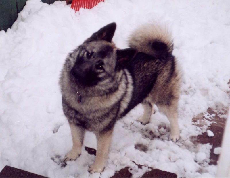 Norwegian Elkhound in snow looking up into camera
