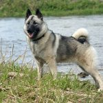 Norwegian_Elkhound-temperament