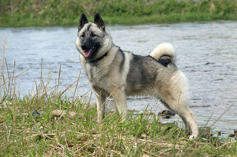 Norwegian Elkhound standing near lake