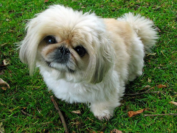 Pekingese ancient dog breeds