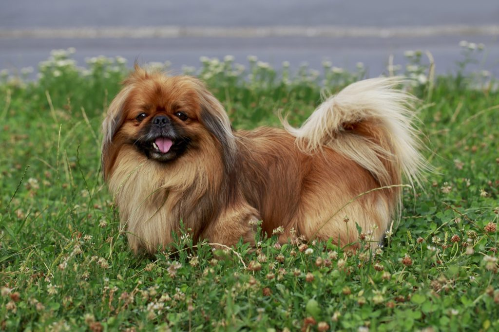Pekingese dog standing in tall grass and smiling