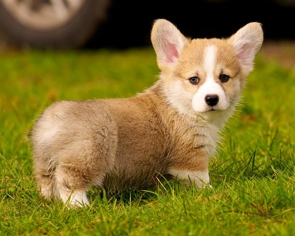 Pembroke_Welsh_Corgi most expensive dog breed pictures