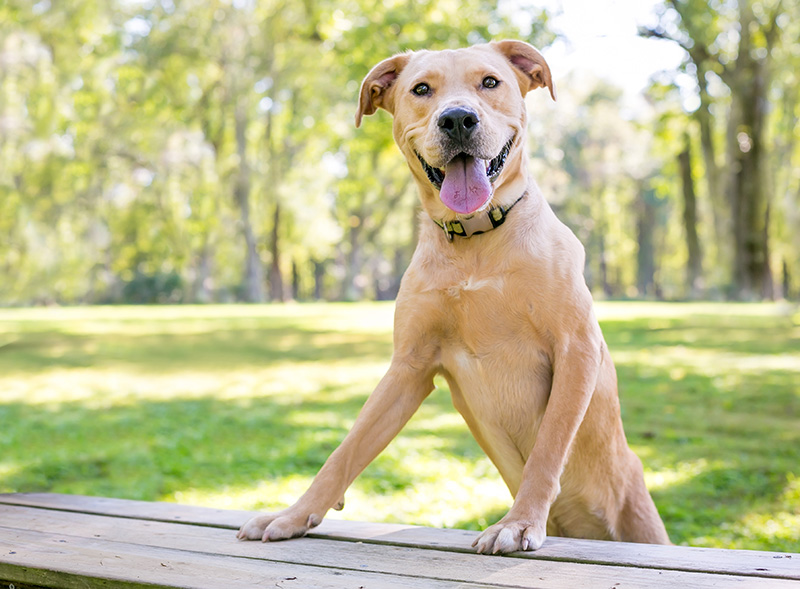 Happy Labrabull next to wooden table in park
