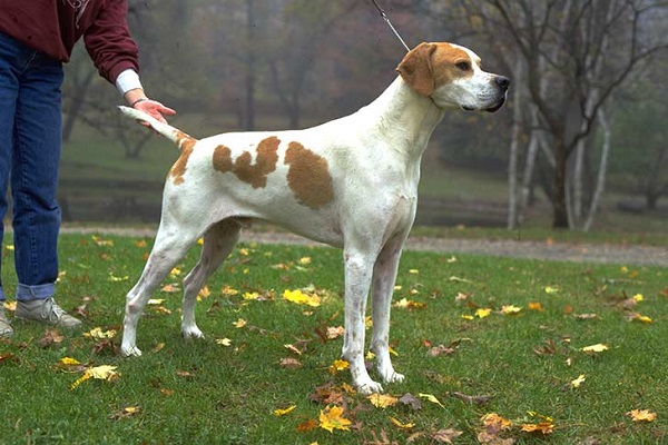american pointer