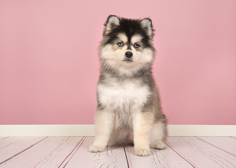 Cute pomsky puppy sitting and looking at the camera with a pink background