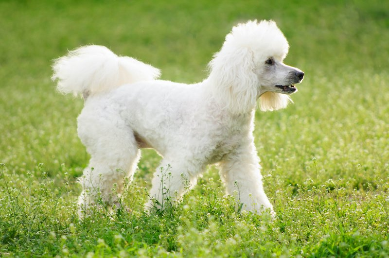 White curly Poodle walking on green grass