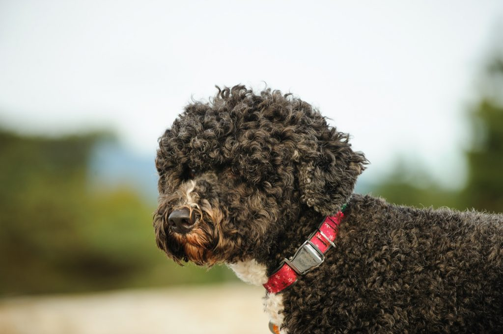 Black Portuguese Water Dog with red collar
