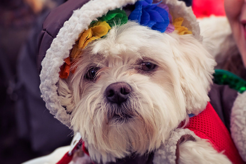 Pros and Cons of Dressing Up Your Dog - Should You Do It?