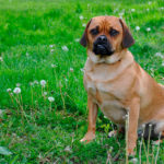 Puggle Dogs - A Crossbreed Between a Pug and a Beagle