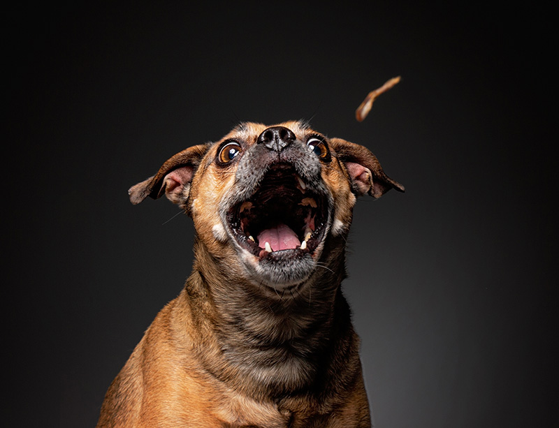 Puggle ready to catch a treat isolated on black background