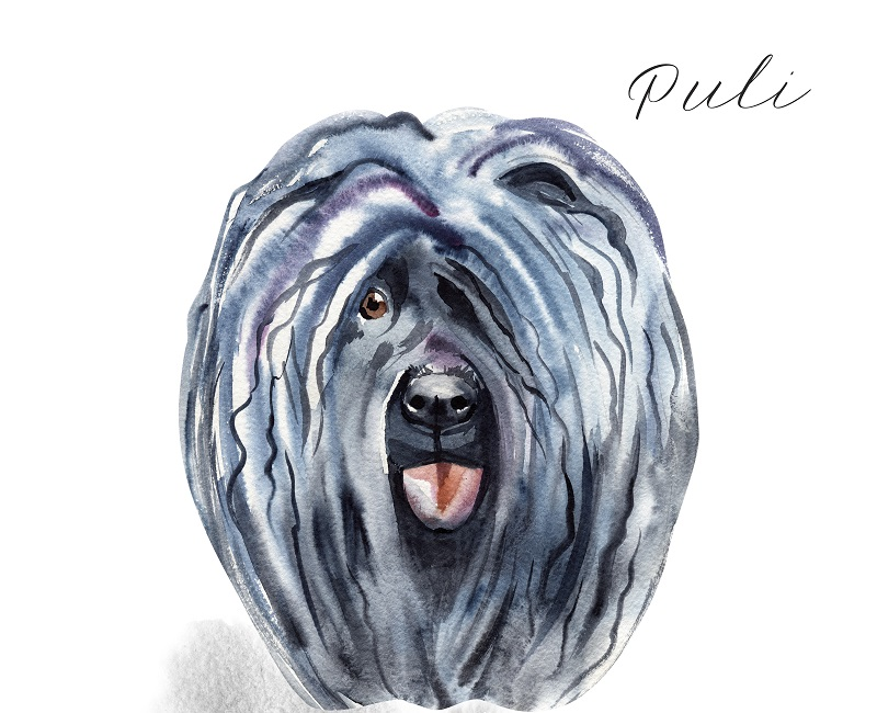 Watercolor Illustrated Portrait of Puli dog. Cute curly face of domestic dog