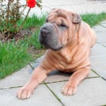Shar Pei - The Deep Wrinkles Make This Dog Unique