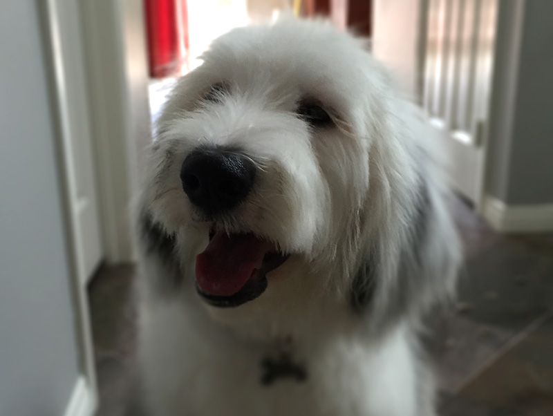 Smiling Sheepadoodle aka Old English Sheepdog and Poodle mix