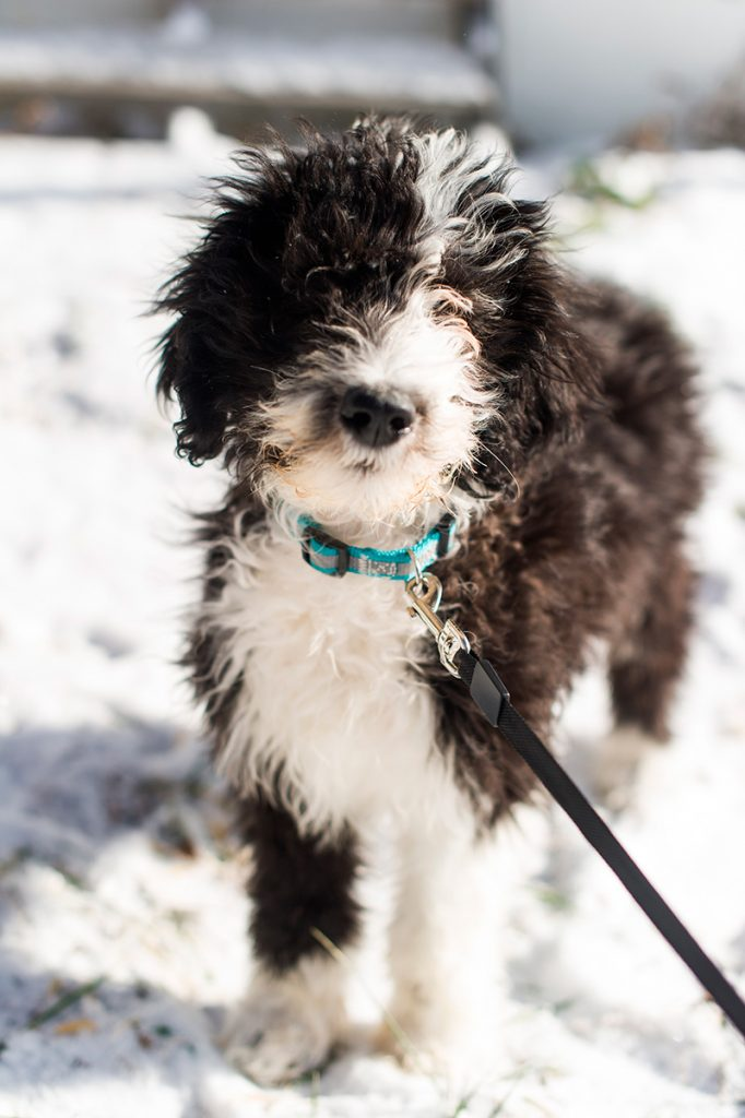 Black and white Sheepadoodle puppy on a leash
