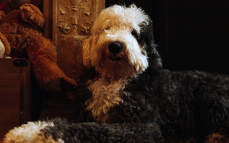 Adorable Sheepadoodle with teddy bear