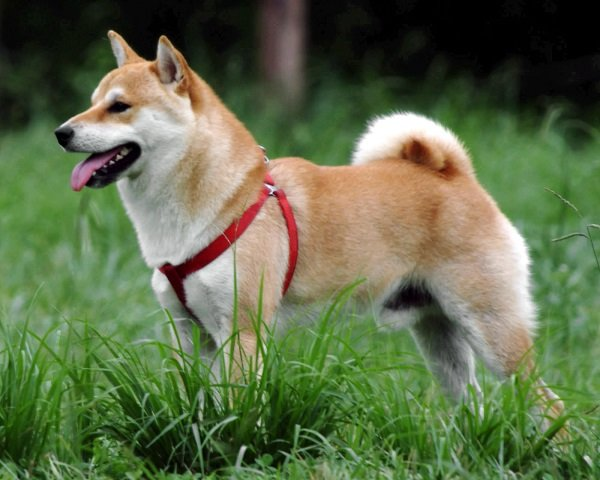 Shiba_Inu earliest and ancient dog breeds of the world