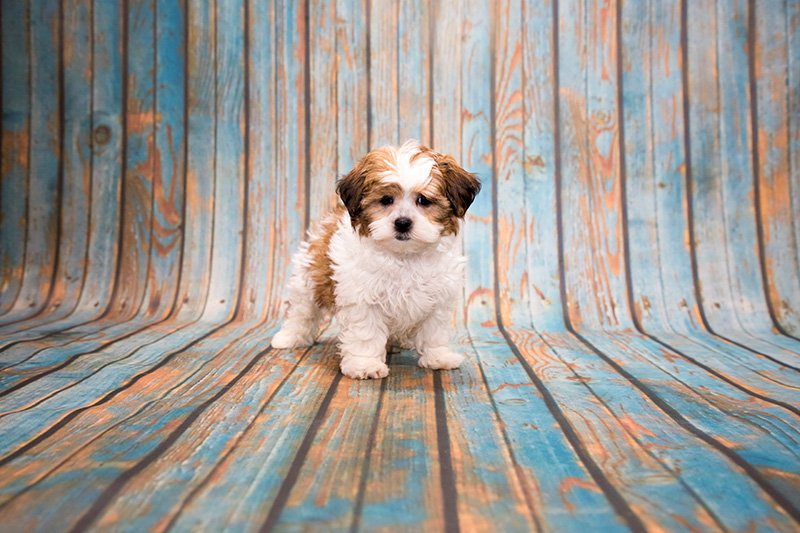 Shih Poo puppy on blue wooden background