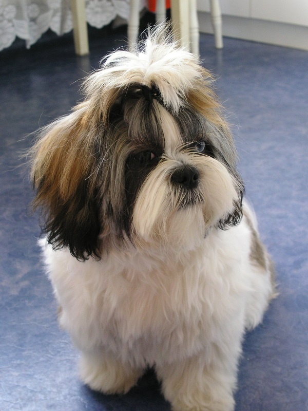 Shih tzu best dog breeds for first time owner in a small apartment