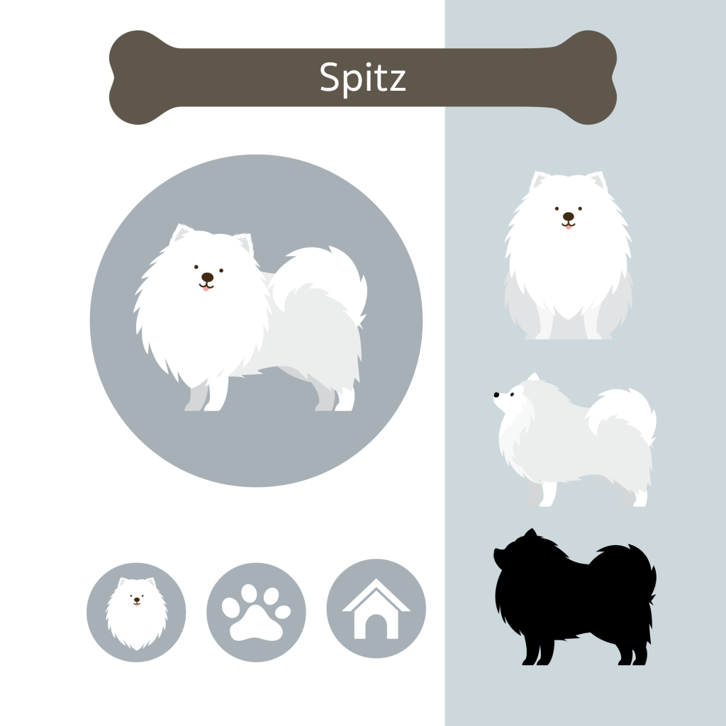 Illustration of Spitz dog breed