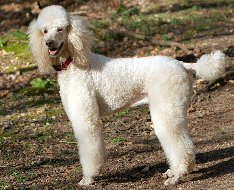 The Standard Poodle - High Intelligence, Unique Temperament make them excellent family protection dogs