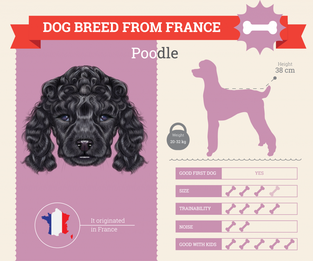 Standard Poodle infographic