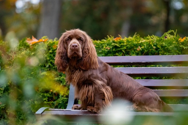 brown Sussex Spaniel posing in a park