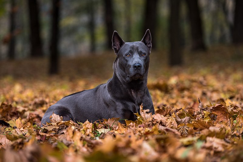 Thai Ridgeback lying on the ground in forest