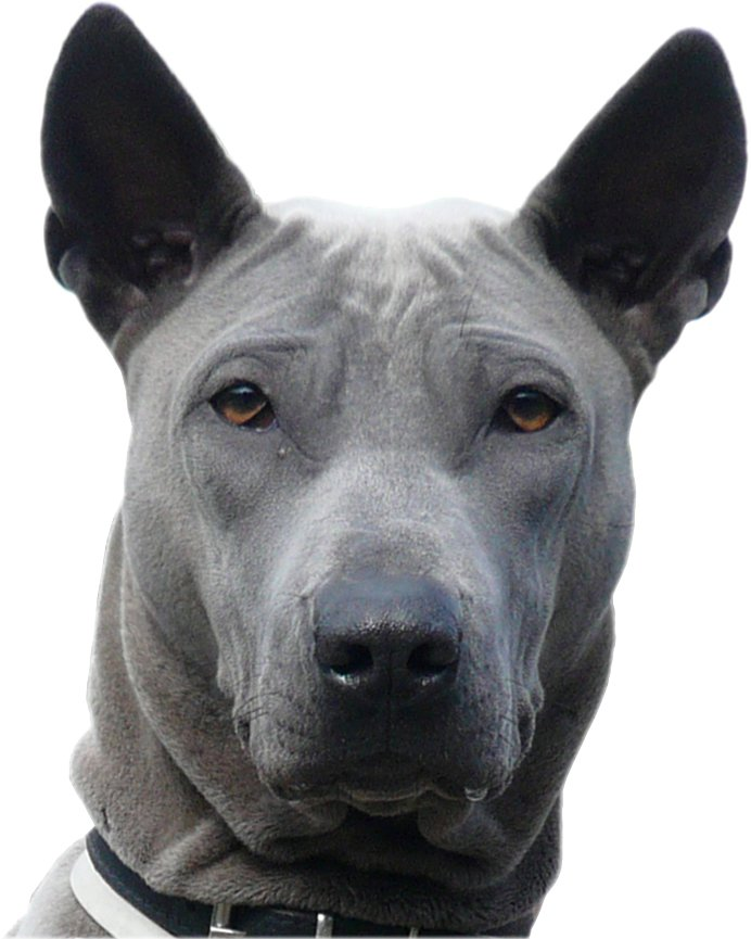 head shot of a Thai Ridgeback dog