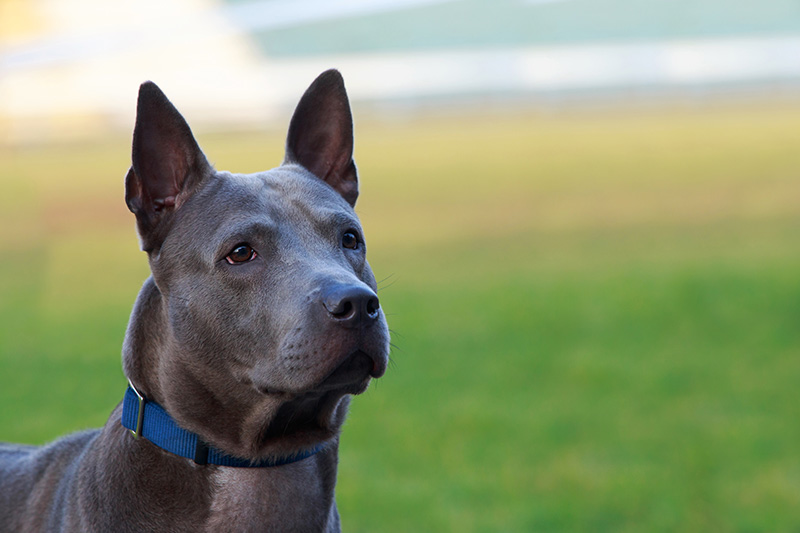 Thai Ridgeback in profile
