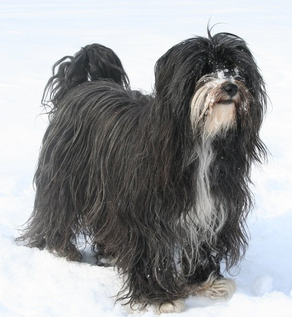 Tibetan Terrier earliest dog breeds