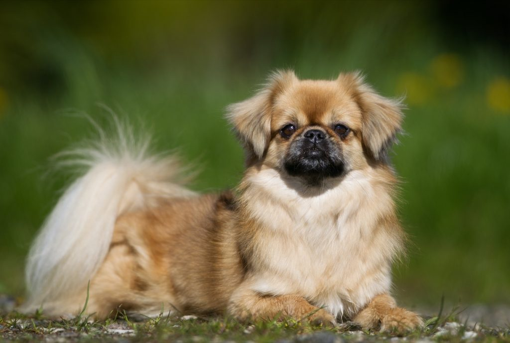 Tibetan Spaniel outdoors in the nature on grass meadow